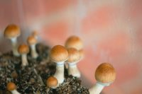 Legality of psilocybin mushrooms throughout the world